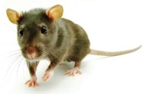 szczurek tahj