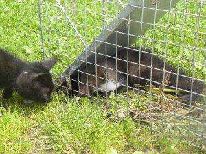 odławianie kun i kotów