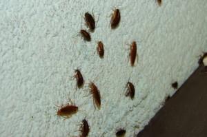 karaluchy w kuchni