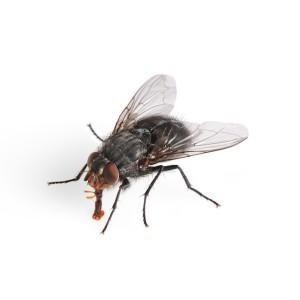 mucha jedząca